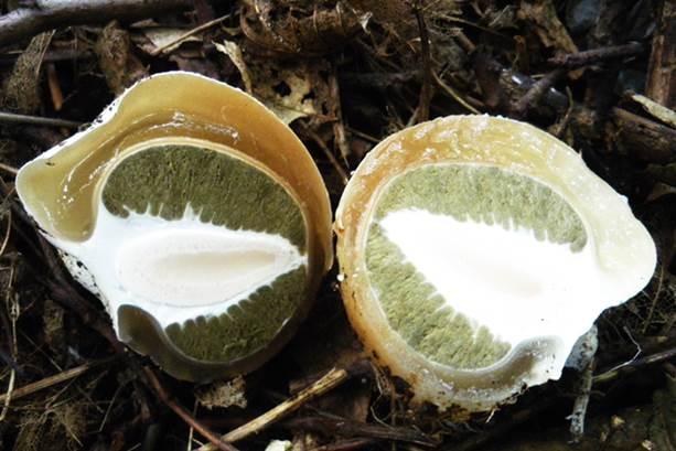 настойка из гриба веселка применение