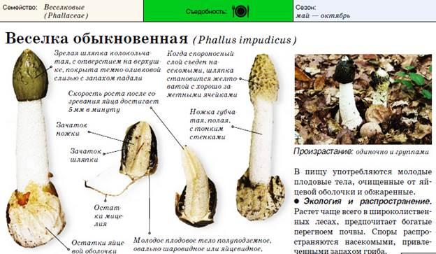 гриб веселка лечебные свойства как принимать